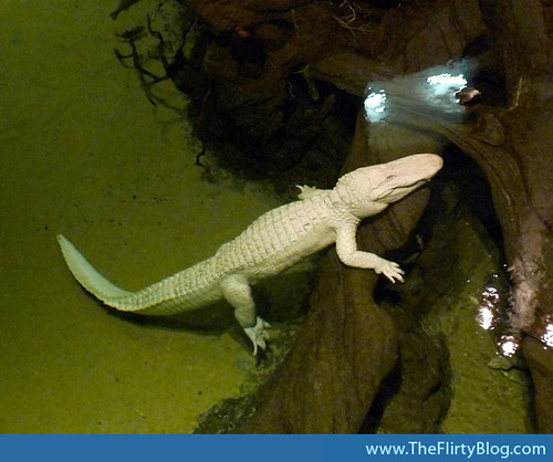 california-academy-of-sciences-albino-alligator
