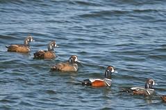 Harlequin Ducks (all males) at Barnegat Inlet (Jim_AC) Tags: winter birds ducks barnegat anatidae anseriformes