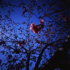 (shikihan) Tags: pink sky flower 120 6x6 japan cherry tokyo holga pinhole velvia medium fujichrome bule