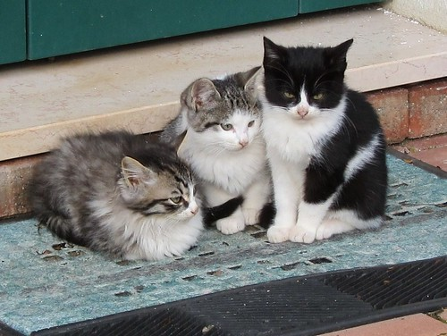 Torcello kittens