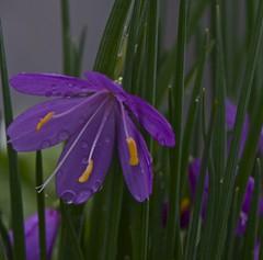 (IanAWood) Tags: flowers kewgardens london raw richmond earlyspring d3x nikkor105mmf28gvrmicro walkingwithmynikon