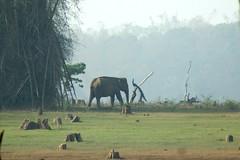 elephant & peacock ~ Nagarhole national park (LaylaLee) Tags: park india national gandhi karnataka rajiv