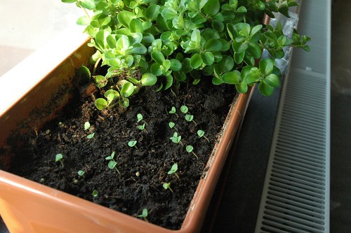 Basil sprouts