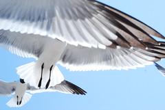 seagull feets (tiffanycsteinke) Tags: sky seagulls bird birds wings backyard florida flight feathers hungry wingspan dunedinfl