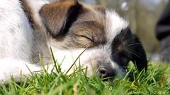 Ohhhh....sun! (Rockabella Anne) Tags: park sun nature sunshine puppy essen puppies play natur sonne nordrheinwestfalen spielen sonnenschein welpe werden whelp northrhinewestphalia hundewelpen essenwerden whelps