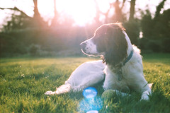 (JC.Murphy) Tags: sunset summer colour film grass canon puppy 50mm prime nc spring natural kodak ae1 14 flare spaniel springer portra 160