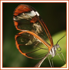 Schmetterling / Butterfly (tomoenage01) Tags: red brown butterfly natur schmetterlinge schmetterling umwelt filigran