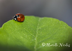 IMG_9895 ( MissChief Photography ) Tags: insect bugs ladybird insecte lovebug coccinelle