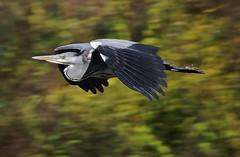 Reiher (Hugo von Schreck) Tags: hugovonschreck outdoor reiher heron bird vogel tamron28300mmf3563divcpzda010