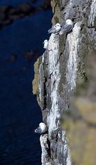 Hanging On _4945 (hkoons) Tags: latrabjargcliffs westfiords westfjords atlantic iceland latrabjarg bay beach birds cliff feathers fiord fjord flight fly inlet island nest nests north ocean peninsula saltwater sand sea seabirds surf water waves wings