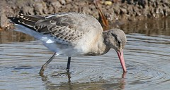 Black Tailed Godwit 091016 (8) (Richard Collier - Wildlife and Travel Photography) Tags: wildlife naturalhistory birds british britishbirds blacktailedgodwit waders coth5