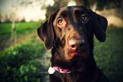 Just Messing Around... (anthonyhelton.com) Tags: lab labrador chocolate retriever mansbestfriend doggies 2470l canon50d
