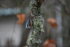 IMG_7668 (Natural Kingdom) Tags: sittaeuropaea eurasiannuthatch 茶腹鳲 鳲科