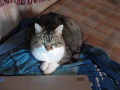 "IMG_0458 - Busy Kitty (Claire DeLand ~ ""GA Music Maker"") Tags: cat feline g11 workathome hannabelle takinabreak cisforcat winter2011"