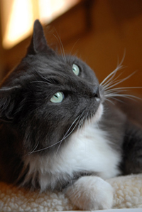 FIV+ cats typically live long, healthy lives like Smokey the cat