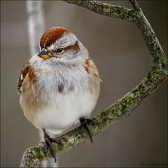 American Tree Sparrow_2020 (sheke1) Tags: park cambridge ontario canada tree bird canon riverside birding kerry american sparrow 7d preston sheppard 100400mm avian spizellaarborea sheke1