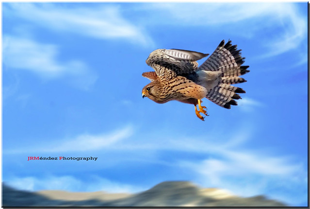 El vuelo del Cernícalo