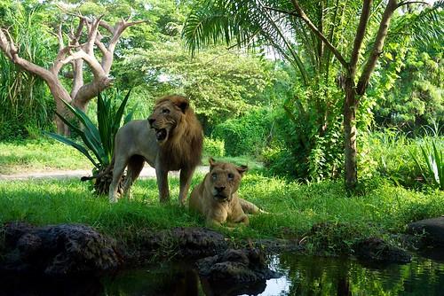 就是這些獅子陪我們吃早餐!