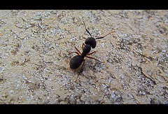 Natural ant killers