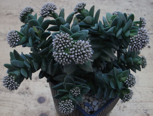 Crassula 'Brides Bouquet' by bertin2005