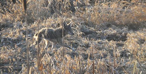 Dyke Coyote