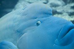 メガネモチノウオ, 沖縄美ら海水族館