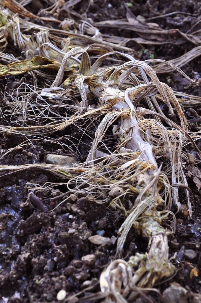 dead zucchini vine