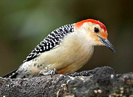 red_bellied_woodpecker