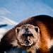 Carcajou - Wolverine (gulo gulo)
