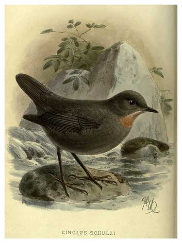 019-Mirlo acuatico-Argentine ornithology…1888- William Henry Hudson y Philip Lutley Sclater