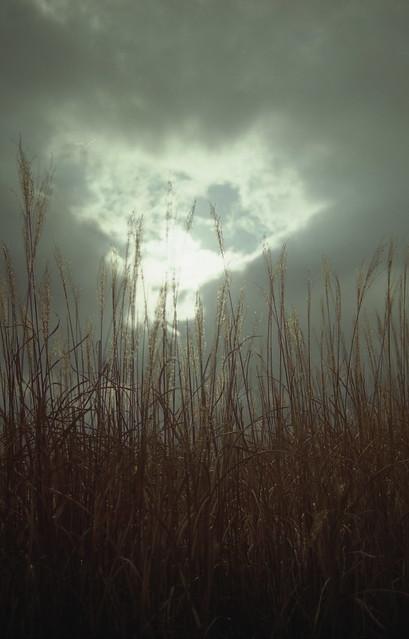 ススキのフリー写真素材