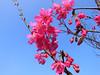年初三走春,遇見粉色櫻花浪漫