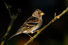 Brambling (Fringilla montifringilla) (m. geven) Tags: bird nature animal fauna branch feathers natuur veer spotlight keep perched sideview lowkey dier oiseau tak avian scandinavian vogel oiseaux songbird avifauna gelderland fringillidae bergfink nld veren pluim darkbackground zangvogel brambling fringillamontifringilla scandinavi migratingbird seedeater zaadeter overwinteren overwinteraar wintergast pinsondunord zijaanzicht trekvogel donkereachtergrond doortrekker vinkachtige gemeentemontferland toevalligebroedvogel nederlandthenetherlandsniederlande bergvink