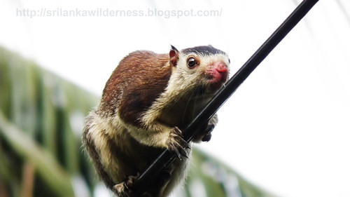 Grizzled Giant Squirrel/Ratufa macroura/<font face=