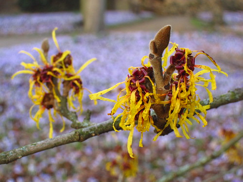 Witch Hazel, Cannizaro Park