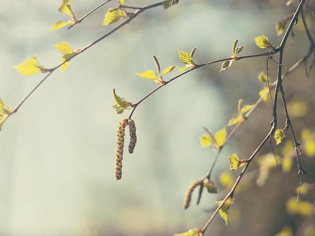 Spring - Birch