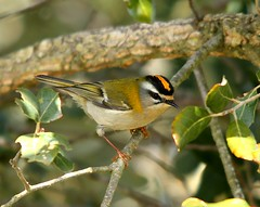 Estrelinha-real | Common Firecrest (Regulus ignicapilla) (Rosa Gamboias/ on vacation) Tags: naturaleza portugal nature birds fauna wildlife natureza birding natura aves crest uccelli arrbida capture ornithology birdwatching vogel oiseaux avifauna ambiente crista captura ecologia passeriformes vidaselvagem passerines ornitologia estrelinhareal regulusignicapillus firecrest reyezuelo regulusignicapilla rosagambias commonfirecrest