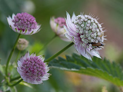 Grande astrance (Astrantia major) Great Masterwort (Sinkha63) Tags: france flower macro nature fleur rose explore getty wildflower vercors gettyimages flore astrantia rhonealpes astrantiamajor umbelliferae apiaceae drme greatmasterwort rhnealpes mountainsanicle explored astrance ombellifres collectionnerlevivantautrement apiace grandeastrance granderadiaire treschenucreyers gettyimagesfranceq1