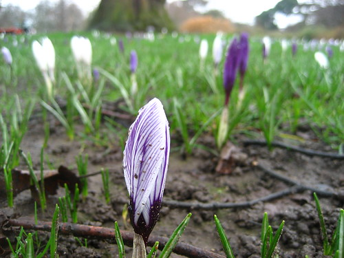Crocuses at kew
