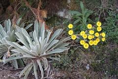 Espeletia schultzii (Asteraceae)