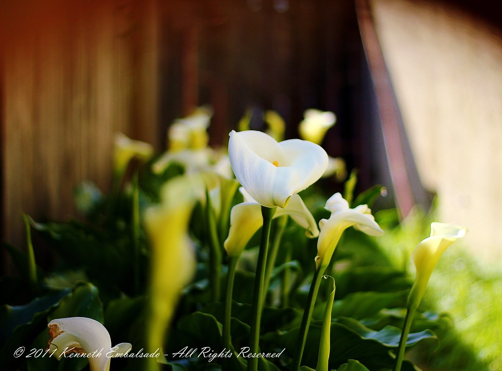 Calla Lillies 1