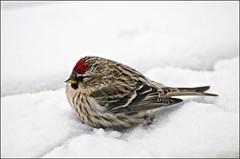Lucky Redpoll (Jeannot7) Tags: ontario bird backyard birdwatcher cobourg carduelisflammea commonredpoll