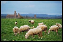 Paesaggio rurale..... (PaPier66) Tags: italy basilica sanpietro viterbo tuscania lazio maremma etruria pecore pastori pascolo gregge tuscia paesaggiorurale altolazio basilicaromanica