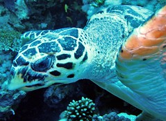 coral cruncher (terry.1953) Tags: sea fish underwater turtle scuba diving scubadiving ressea