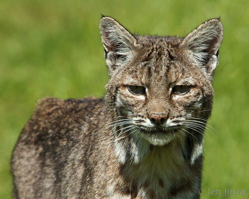 Portrait of skinny bobcat