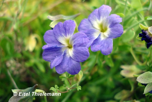 Flores de pajarito azul <i>Tropaeolum azureum</i>  con sus característicos 5 pétalos subespatulados, el cáliz verde y el espolón propio de esta especie.