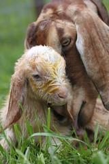 Glory and her babies (♥GreenTea♥) Tags: baby cute kid goat goats newborn onephotoweeklycontest onephotoweeklycontestwinners
