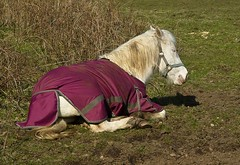 Pony chilling out on a sunny March day (Drewhound) Tags: cornwall pony adz carnmarth