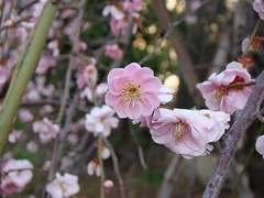 A Perfectly Formed Plum Blossom (Rekishi no Tabi) Tags: japan tokyo  shinto edo plumblossoms  kotoku  umeblossoms  shintoshrines kameidotenjinshrine