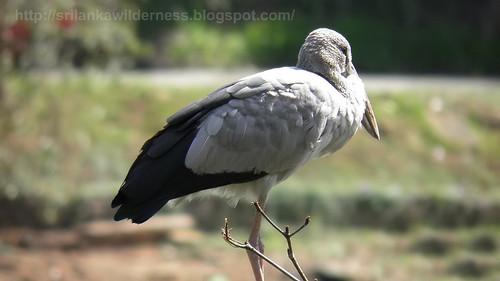 Asian Openbill Stork Anastomus oscitans